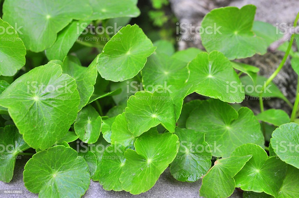 Pennywort stock photo