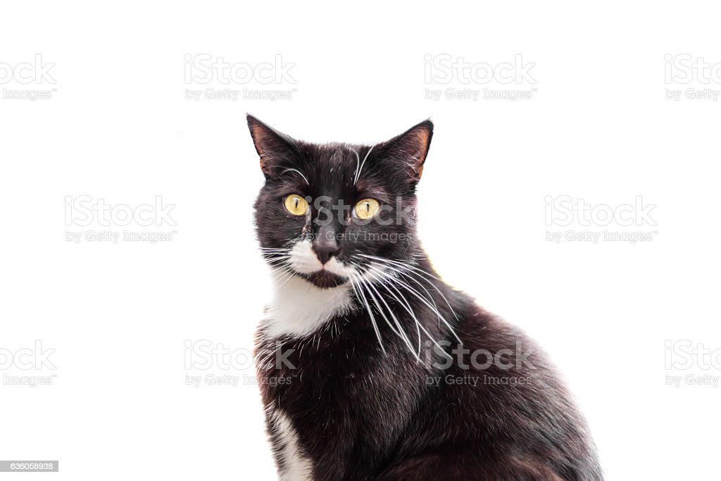 Pensive black and white cat isolated on white wondering stock photo
