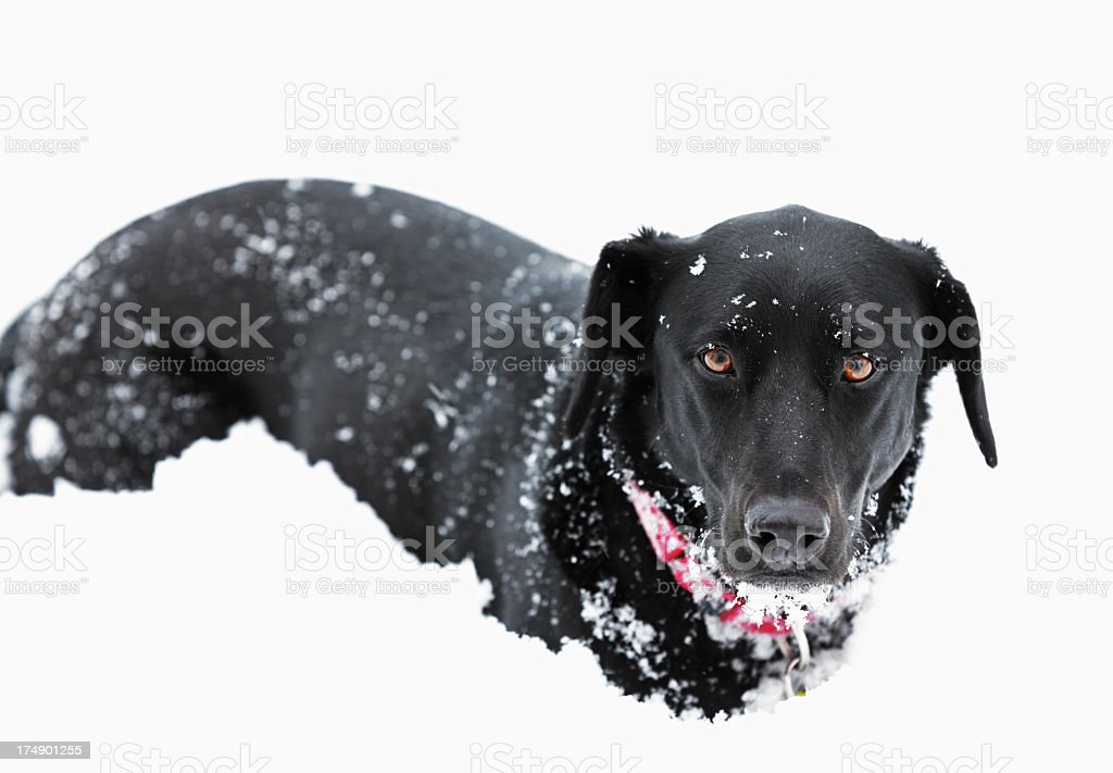 Pensive Black Snow Dog royalty-free stock photo