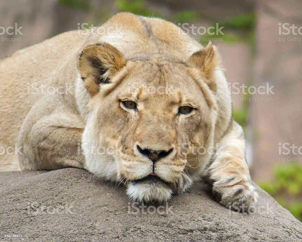pensive lioness stock photo