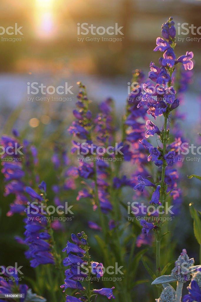 Penstemon at sunset stock photo