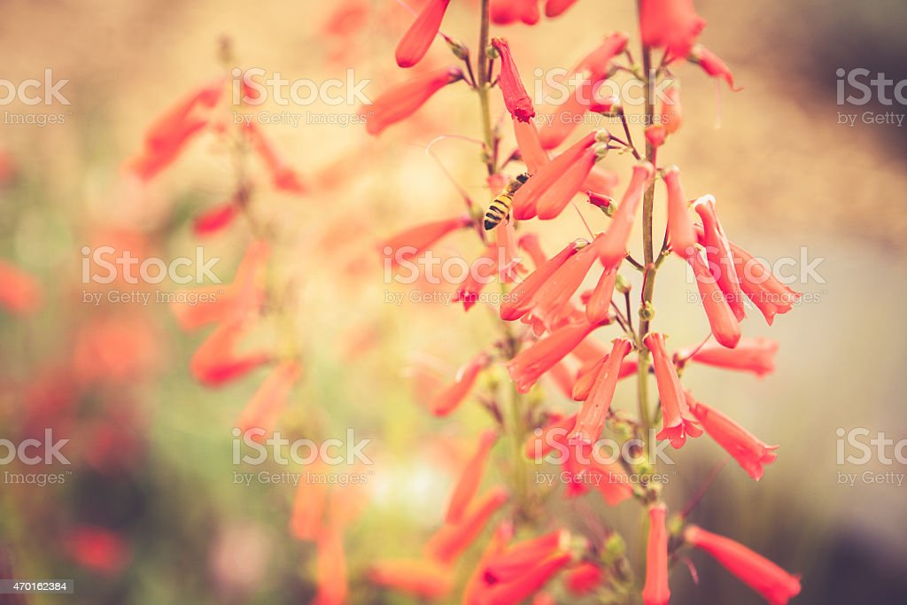 Penstemon blooming in flower garden with red blossoms stock photo