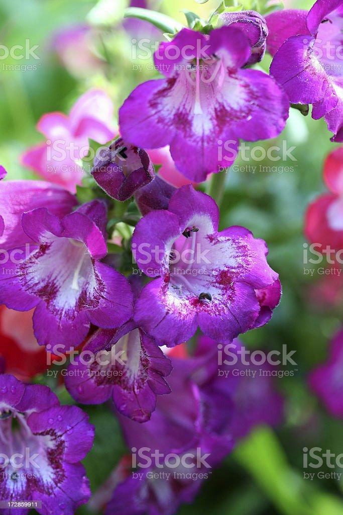 Penstemon Pink Flowers royalty-free stock photo