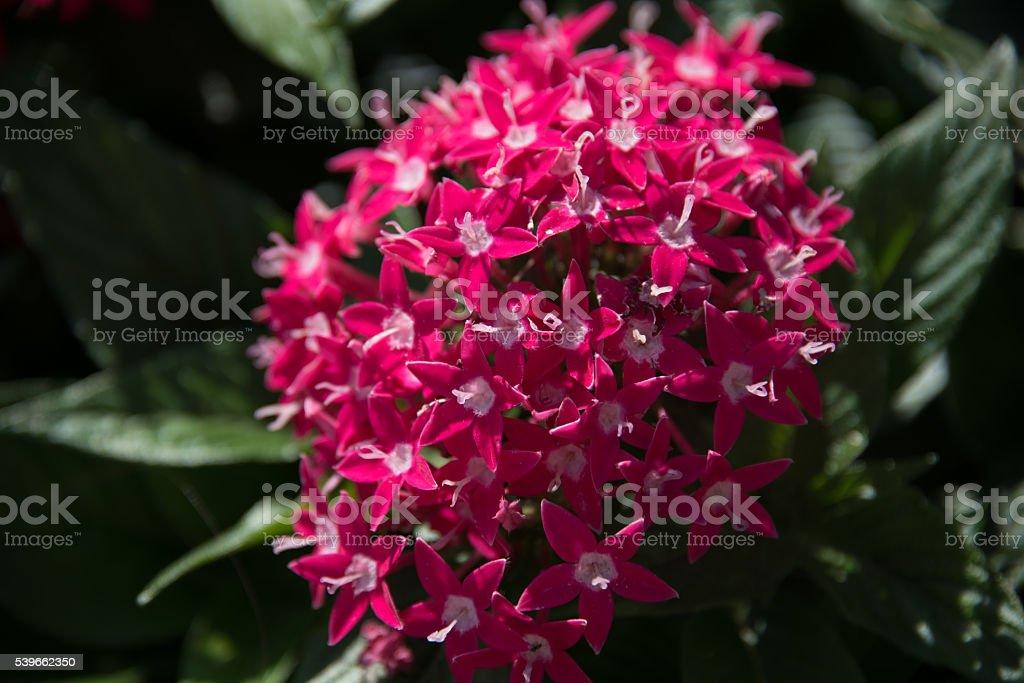 Penta flowers stock photo