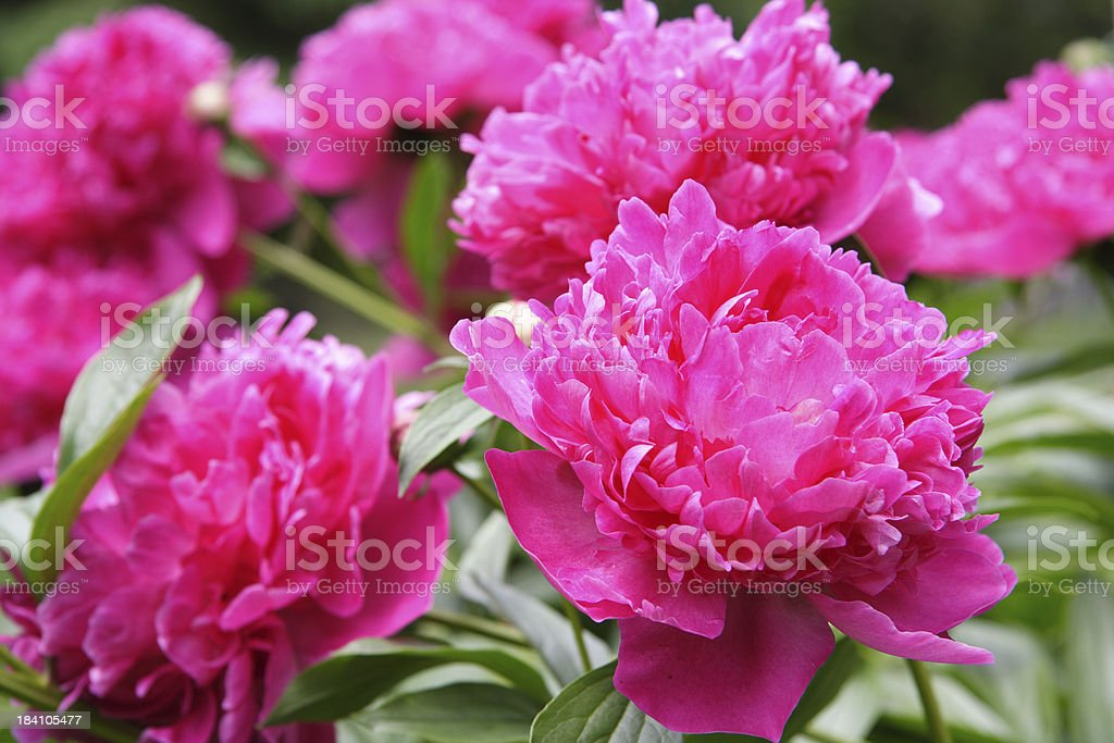 peonies 8 royalty-free stock photo