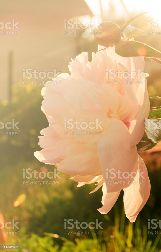 Peonies in the garden in the sunset stock photo