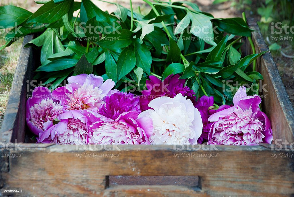 Peonies on wooden background stock photo