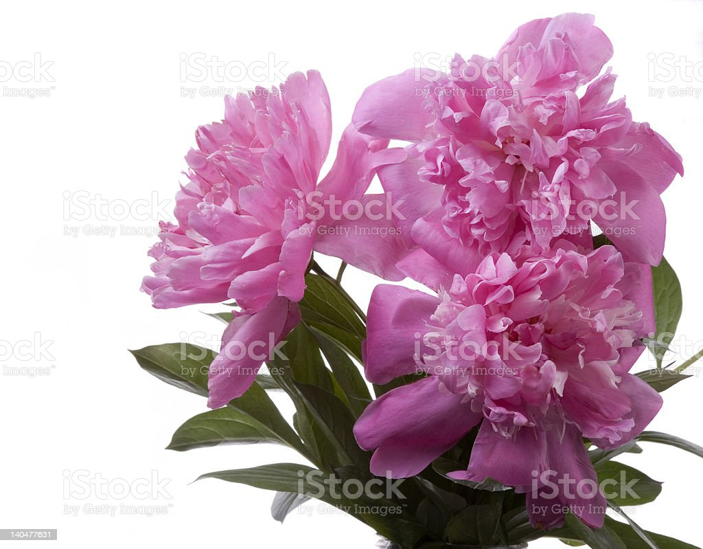 peonies royalty-free stock photo