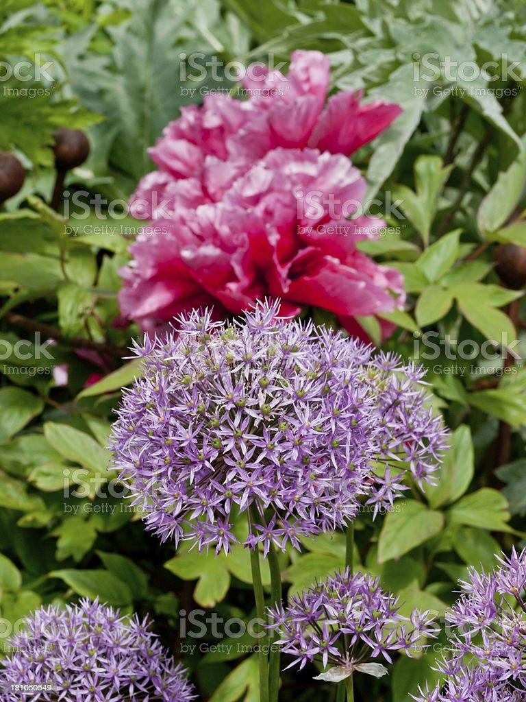 Peony and Allium royalty-free stock photo