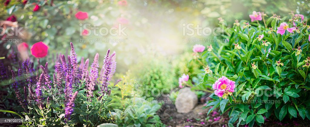 Peony bush with garden sage and red rose flowers stock photo