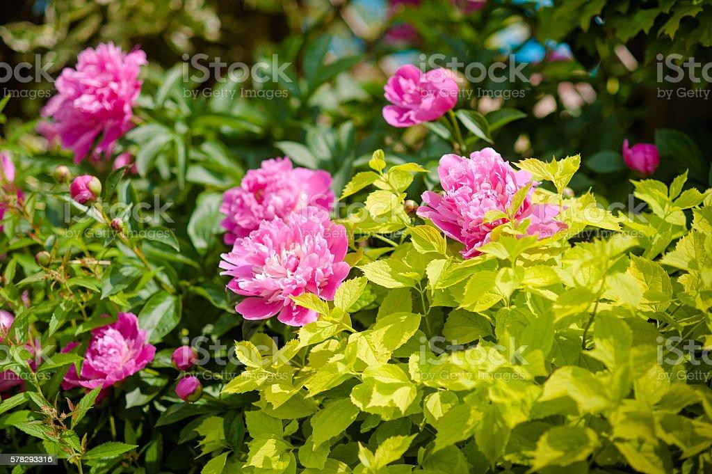 peony bush with pink flowers stock photo