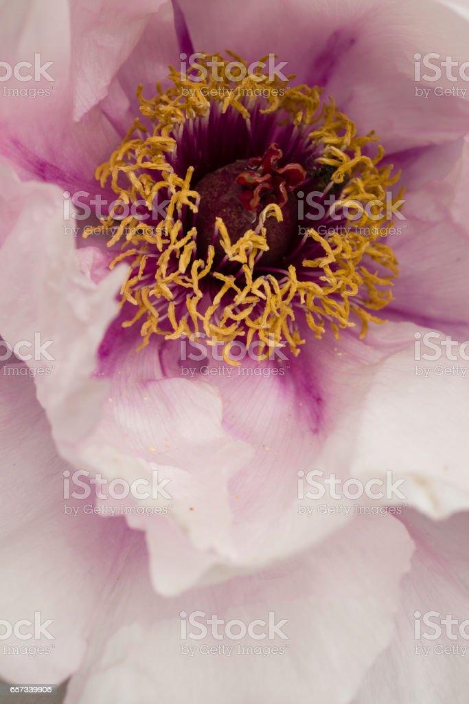 Peony flower detail close up stock photo