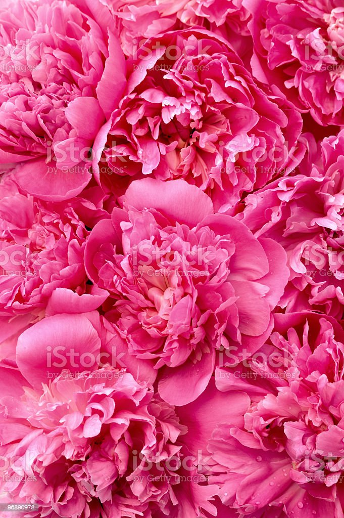 Peony flower heads - background royalty-free stock photo