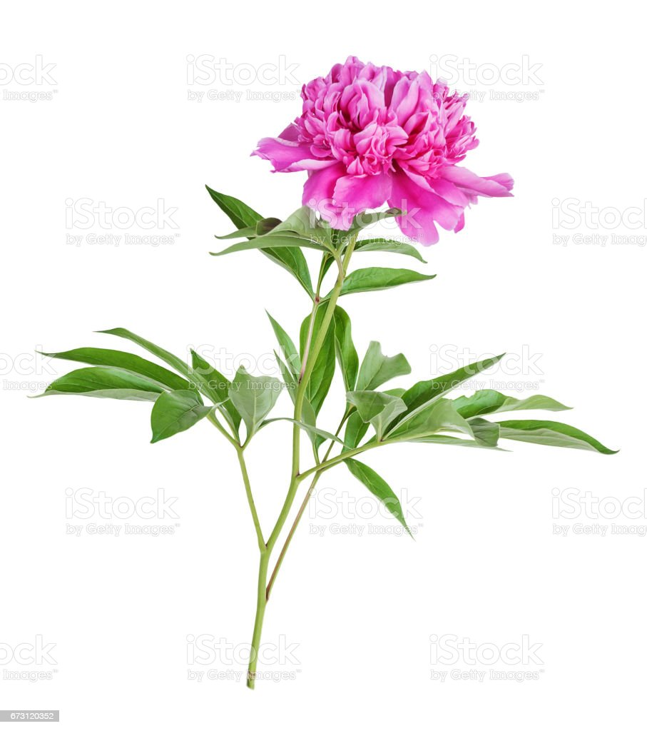 Peony flower on a white background stock photo