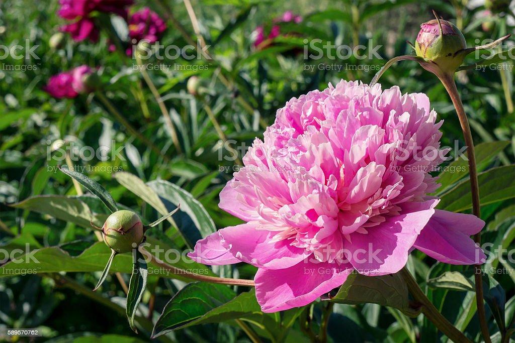 Flor de Peónia foto de stock royalty-free