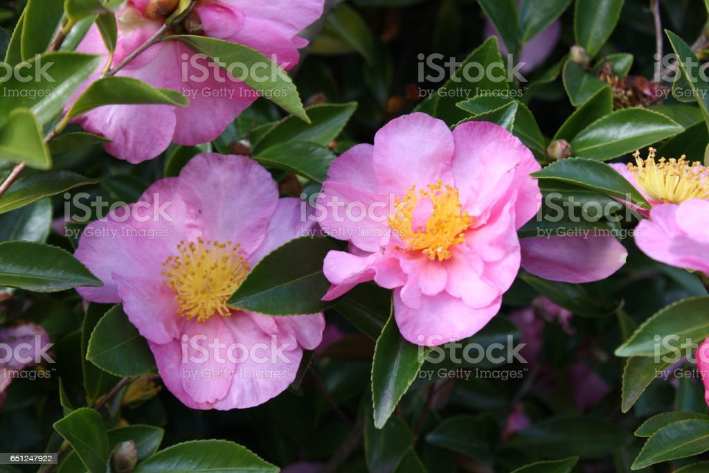 Peony flower. stock photo