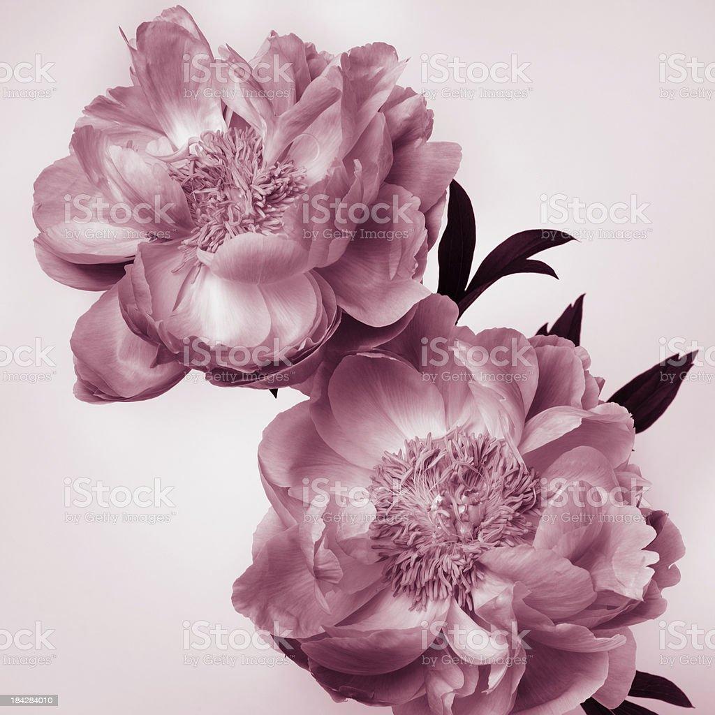 Peony flowers royalty-free stock photo