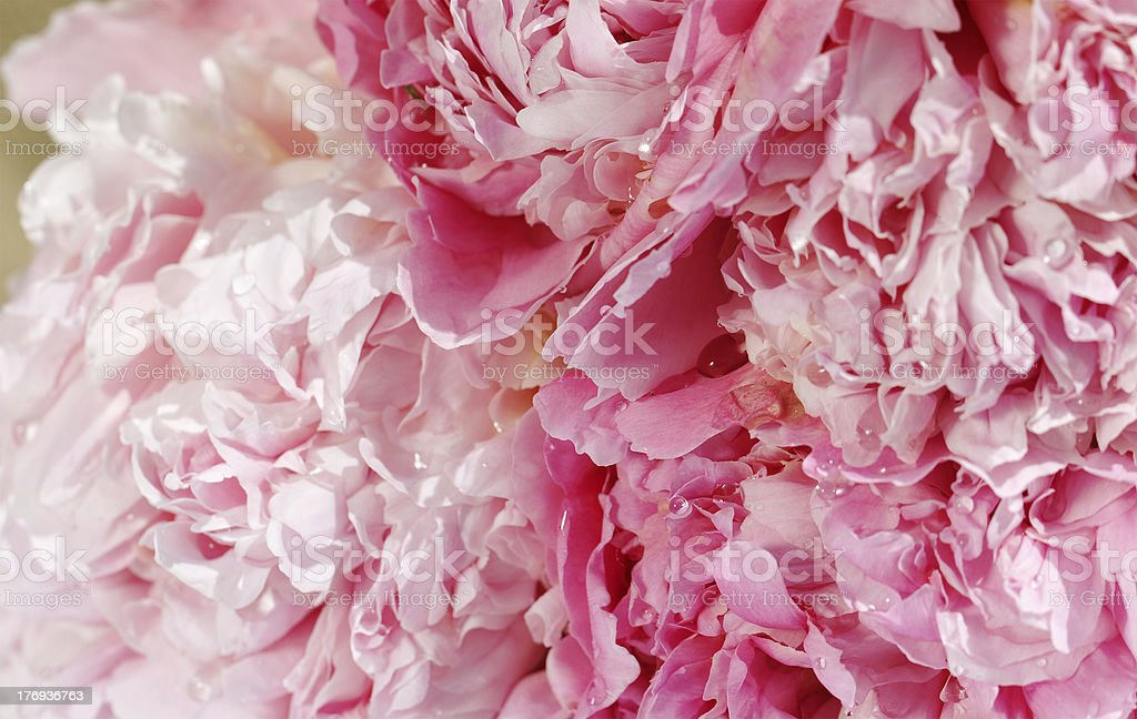 Peony. royalty-free stock photo