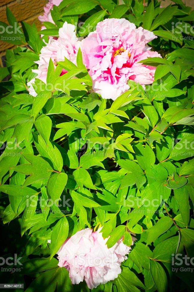 Peony Rose bush stock photo