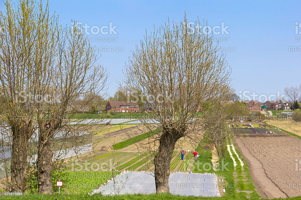 People are working at the lettuce field royalty-free stock photo