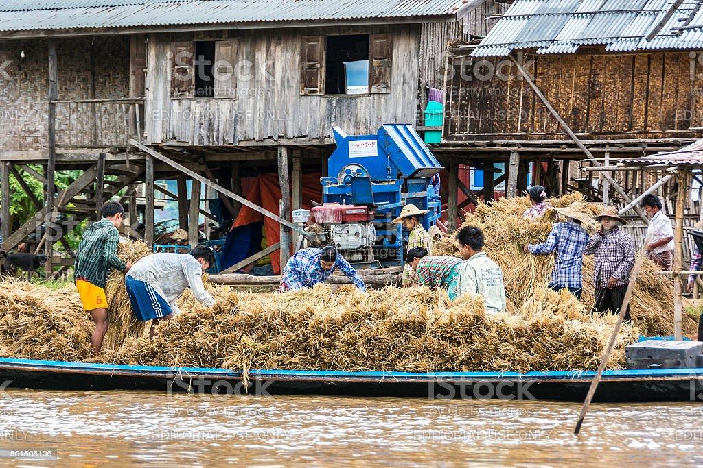 people at inle lake thresh the corn stock photo