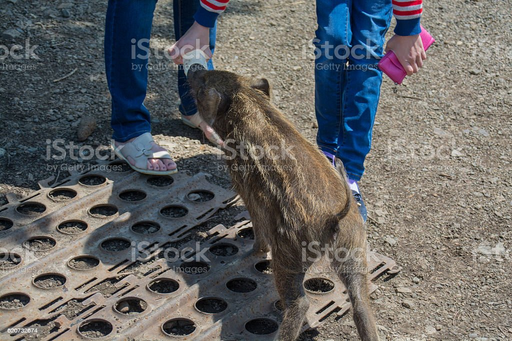 People feeds small wild boar from bottle. stock photo