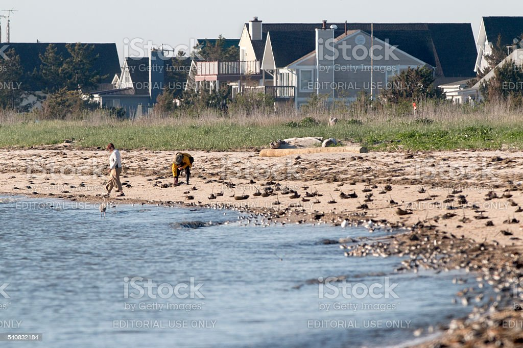 People flip stranded horseshoe crabs Slaughter Beach homes Delaware Bay stock photo