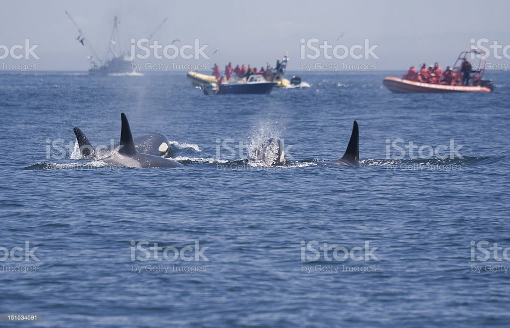 People in Boats watching Killer Whales stock photo