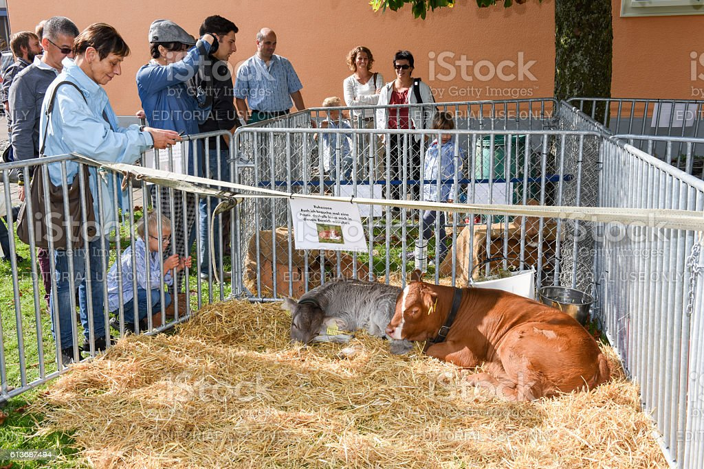 People looking at calves in Ennetbuergen on the Swiss alps stock photo
