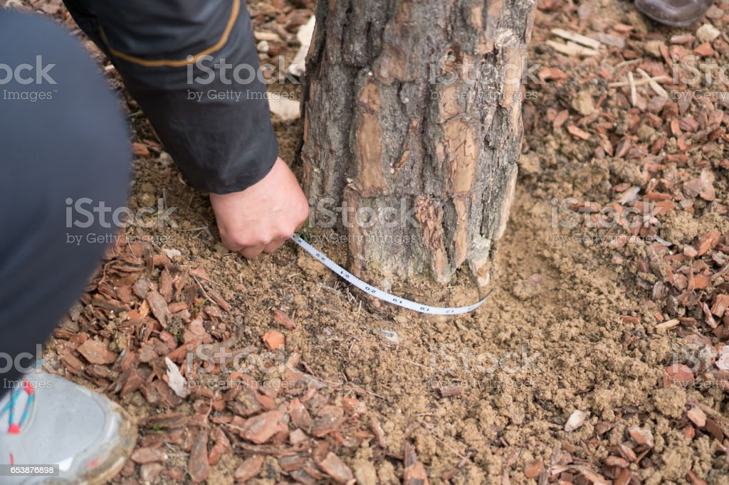 People measuring the thickness of trees stock photo