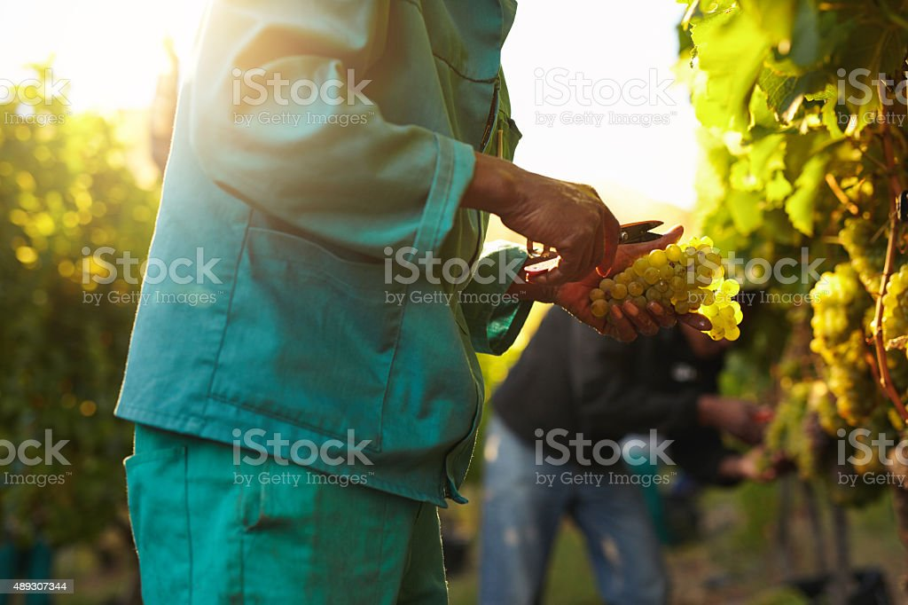 People picking grapes during wine harvest in vineyard stock photo