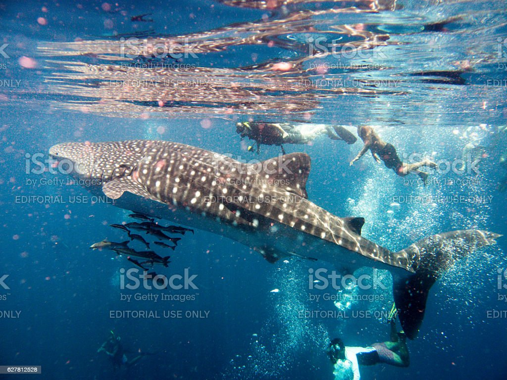 People Swimming With Endangered Species Whale Shark (Rhincodon types) stock photo