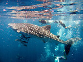 People Swimming With Endangered Species Whale Shark (Rhincodon types)