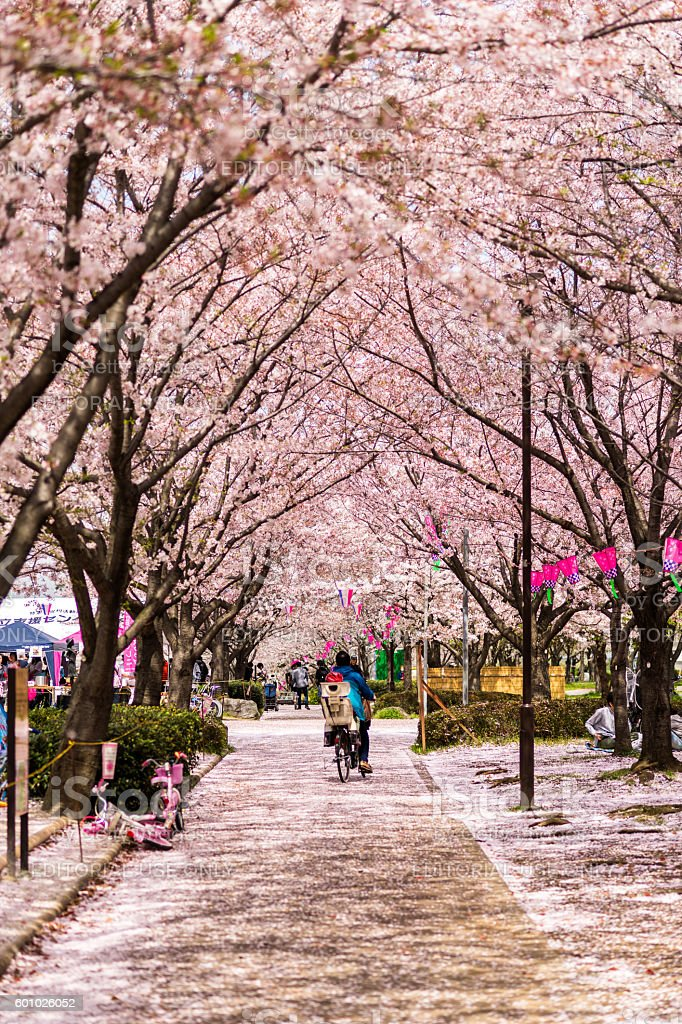 People under sakura trees in Tokyo, Japan. stock photo