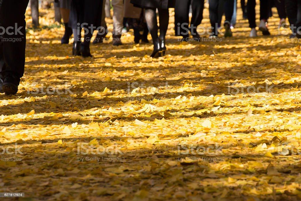 People walking in ginkgo trees stock photo