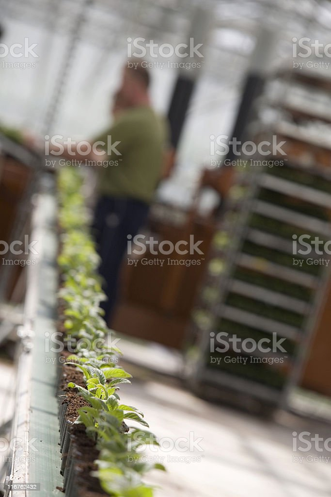 people working at an agricultural conveyor belt in a greenhouse stock photo