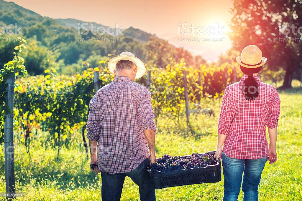 People Working in Vineyard stock photo