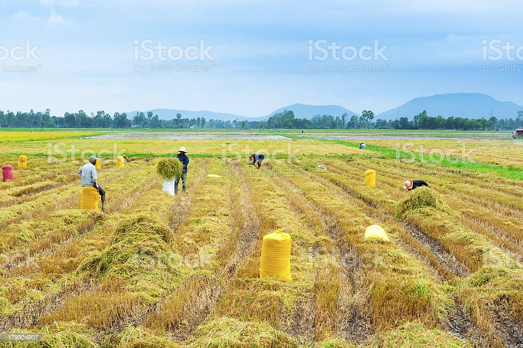 People working on the rice field royalty-free stock photo