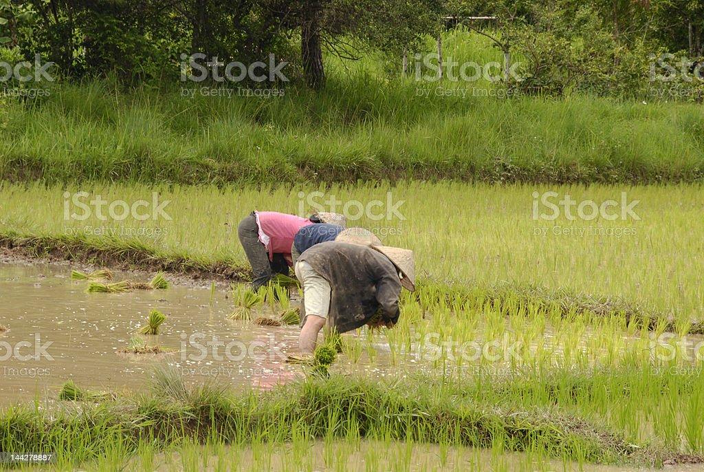 Pessoas a trabalhar na ricefields foto de stock royalty-free