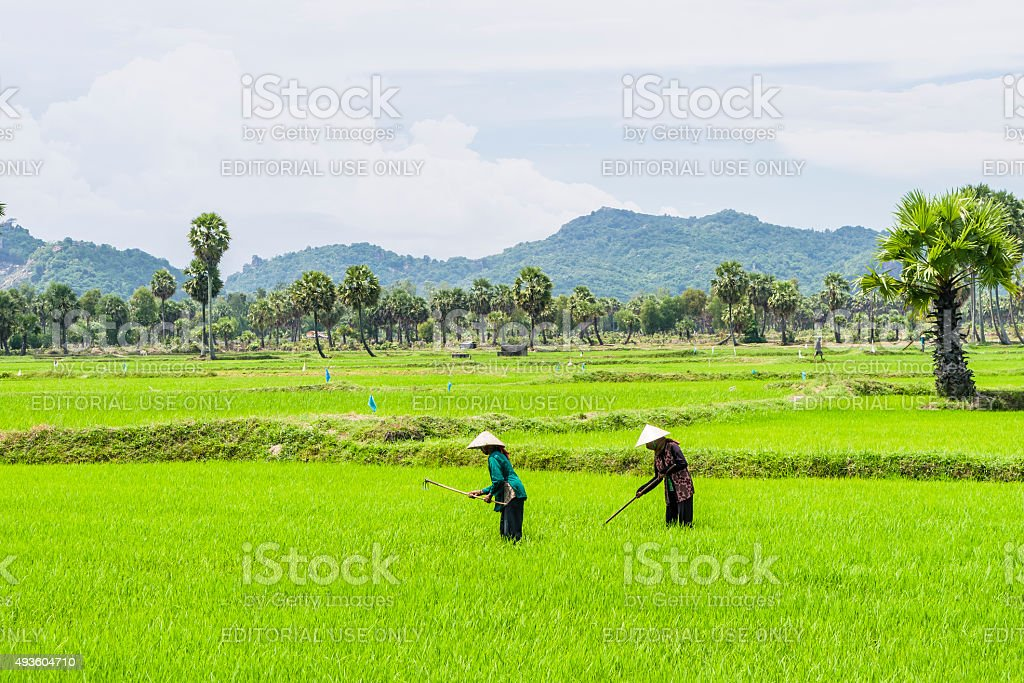 Peoples are working in the rice field stock photo