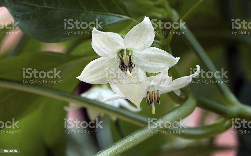 Pepper Blossom stock photo