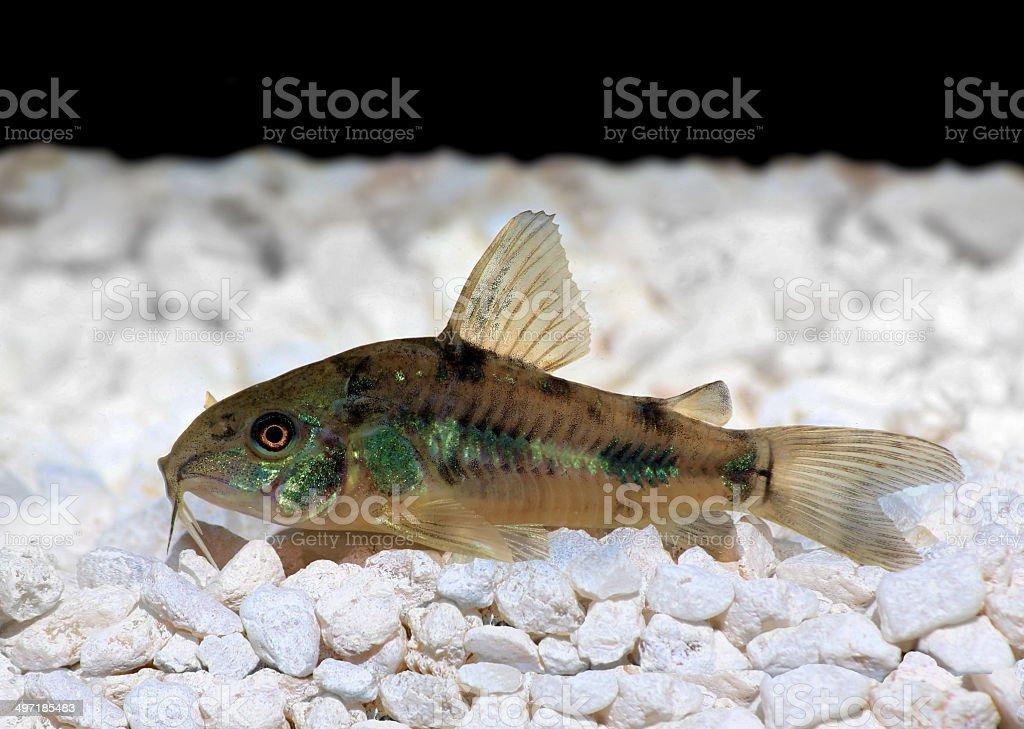 Pepper Cory Corydoras paleatus catfish stock photo
