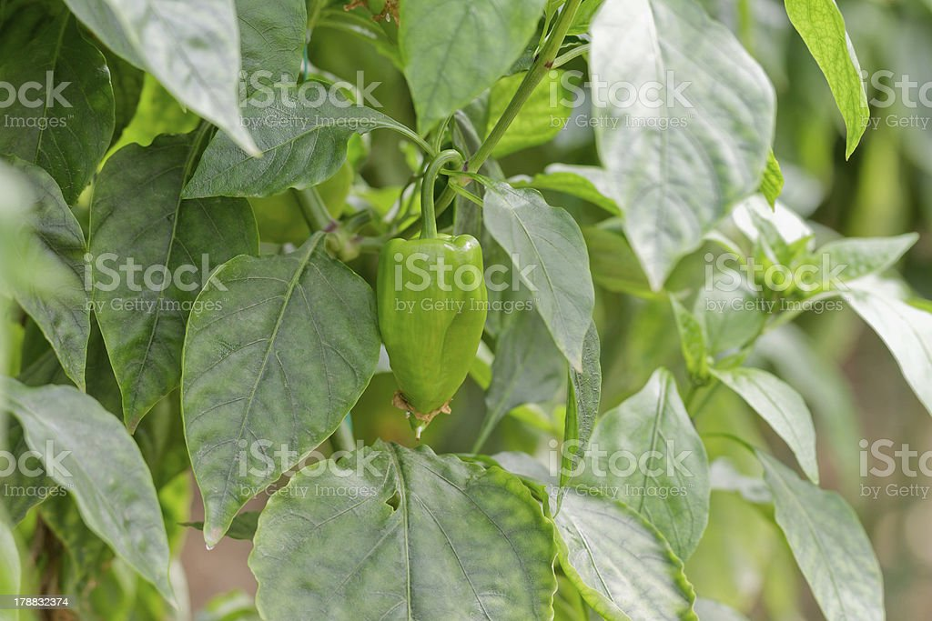 Pepper Crop royalty-free stock photo