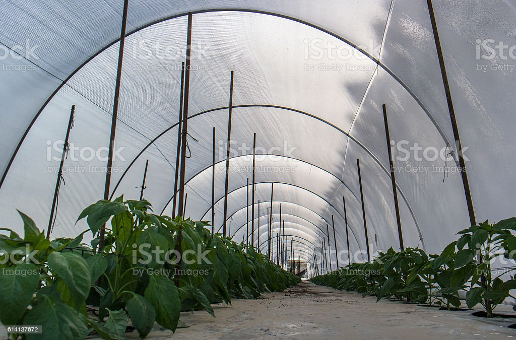 Pepper crops in greenhouse stock photo
