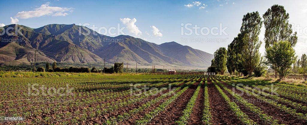 Pepper Field stock photo