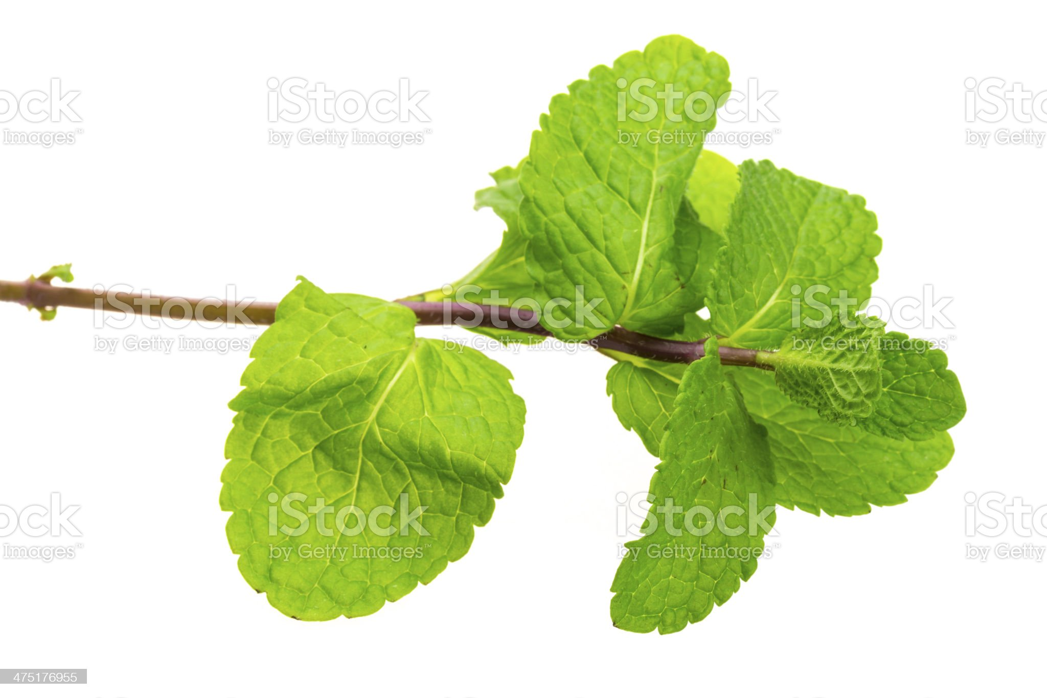 Pepper mint royalty-free stock photo