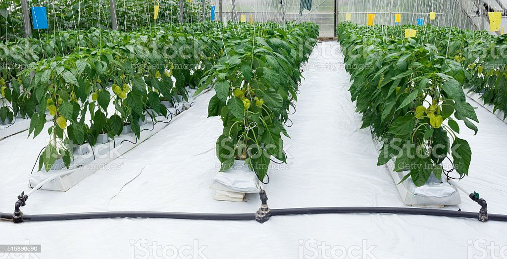 Pepper Plant Greenhouse stock photo