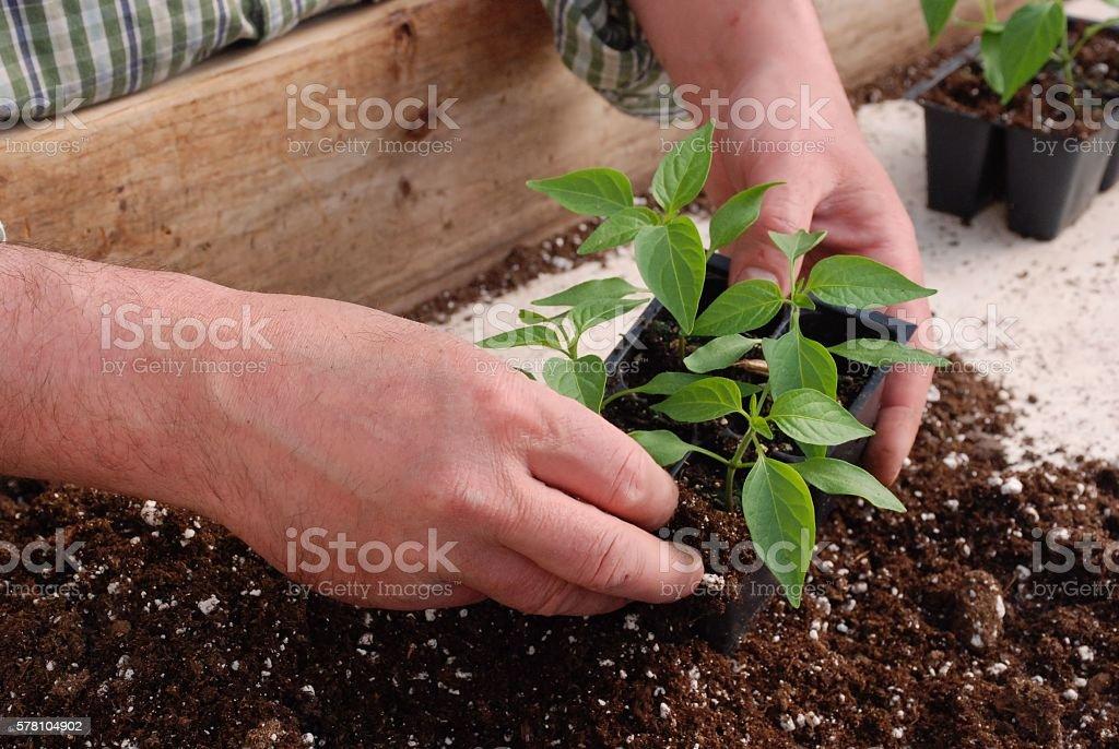 Pepper Plants stock photo