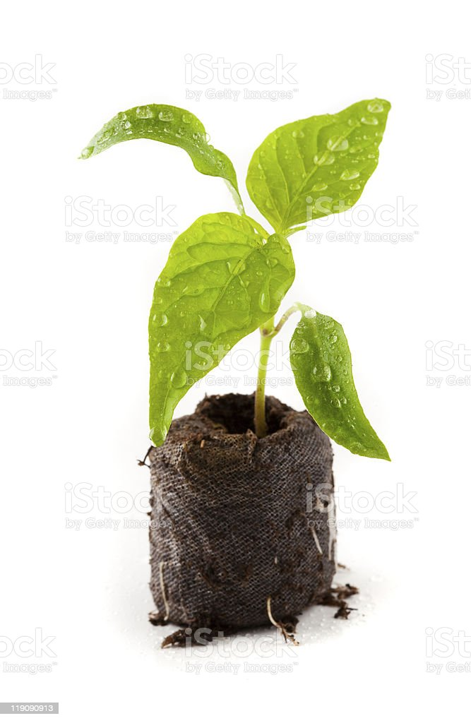 Pepper seedling from a nursery royalty-free stock photo
