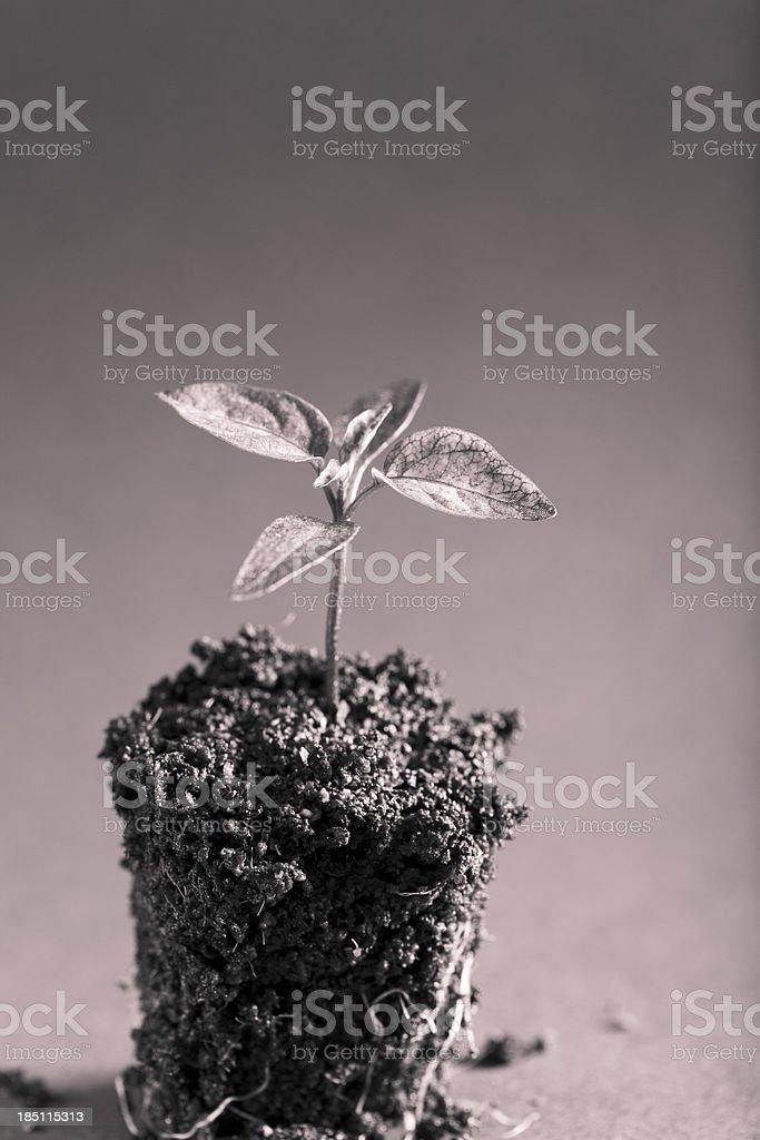 Pepper seedling - toned stock photo